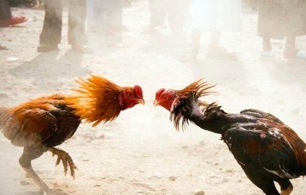 Sambung Ayam
